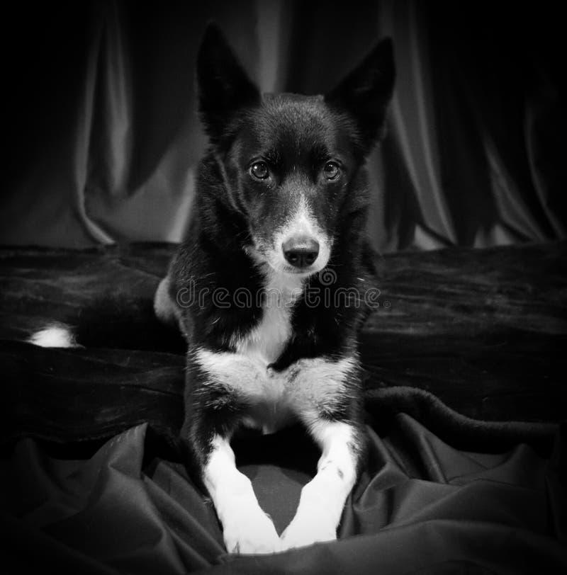 Miscela scozzese del husky del cane pastore di Bordercollie fotografie stock libere da diritti