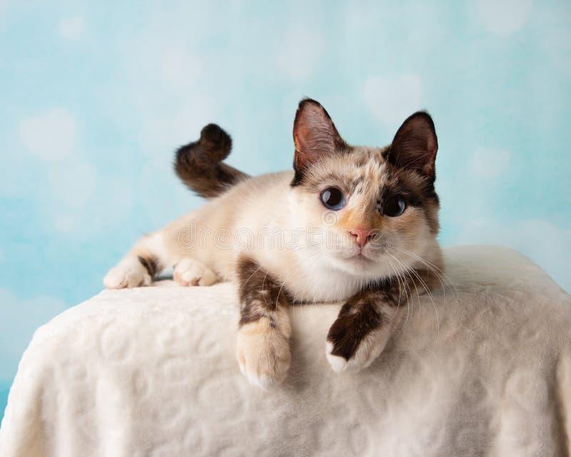 Miscela siamese Cat Portrait in studio fotografia stock libera da diritti