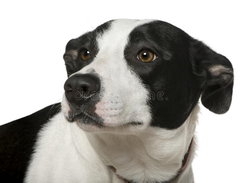 Misch-züchten Sie den Hund, 2 Jahre alt lizenzfreies stockfoto