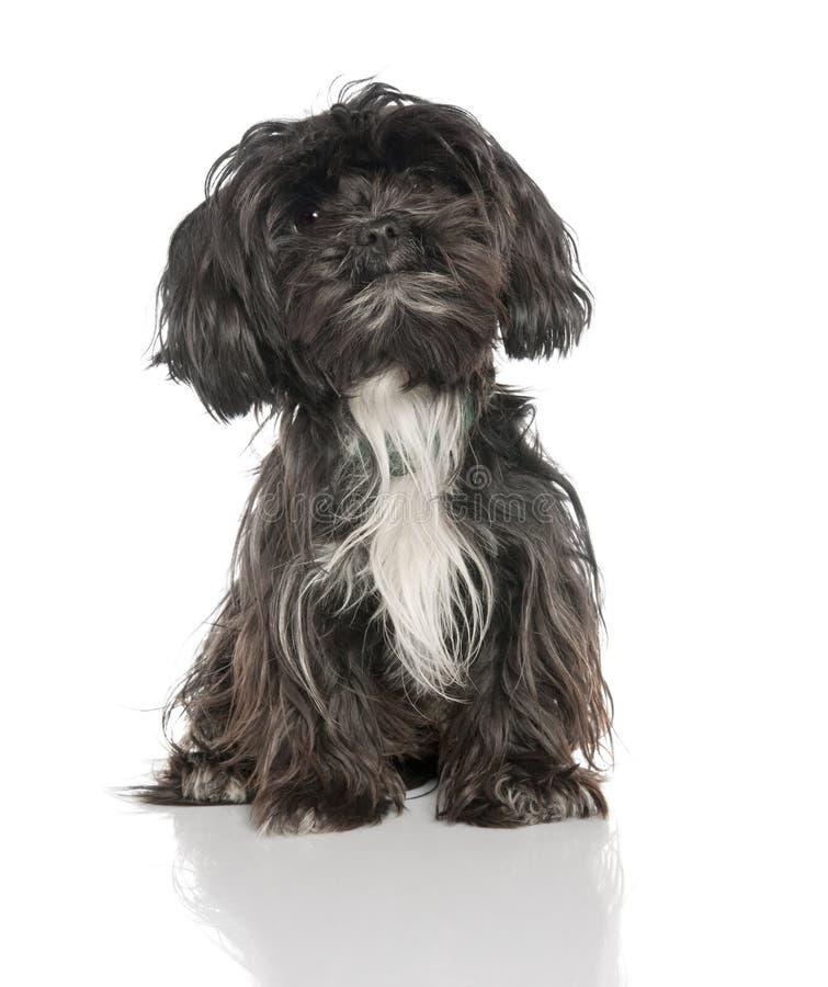 Misch-Züchten Sie Hund zwischen einem Yorkshire und einem Lhasa AP stockfoto