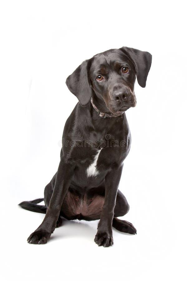 Mischbrutlabrador-Apportierhundwelpe stockfoto