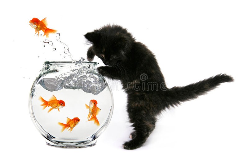 Mischeivious Kitten. Humorous Kitten Trying to Catch Gold Fish in a Bowl