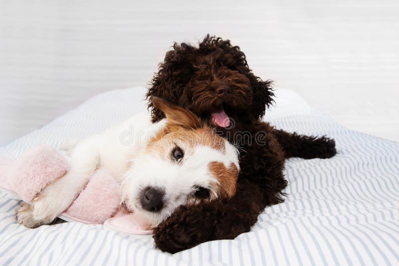 Mischief puppy. two dogs playing ob bed with slipper toes. Obedience concept.  royalty free stock photography
