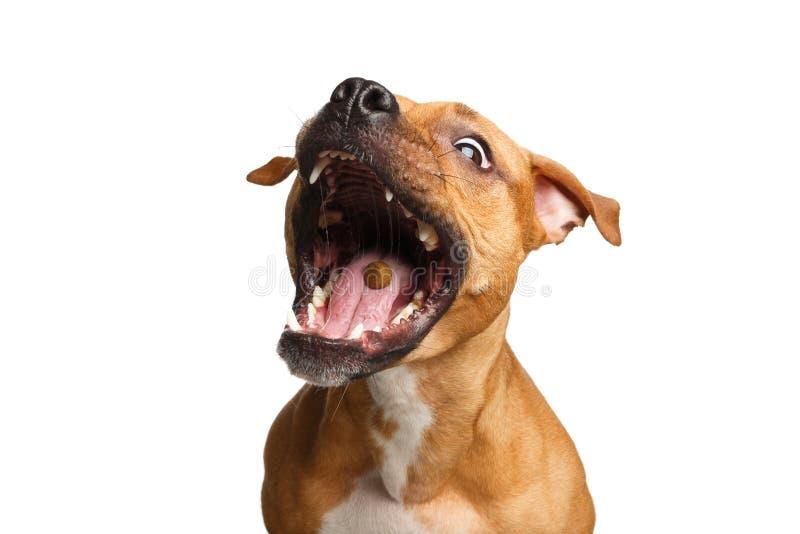 Mischlings-rote Hundefangfestlichkeiten lizenzfreie stockbilder