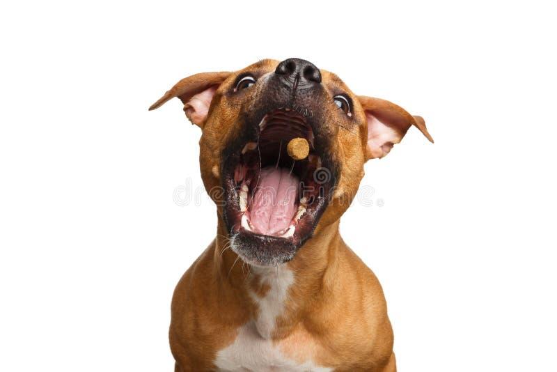Mischlings-rote Hundefangfestlichkeiten lizenzfreie stockfotos