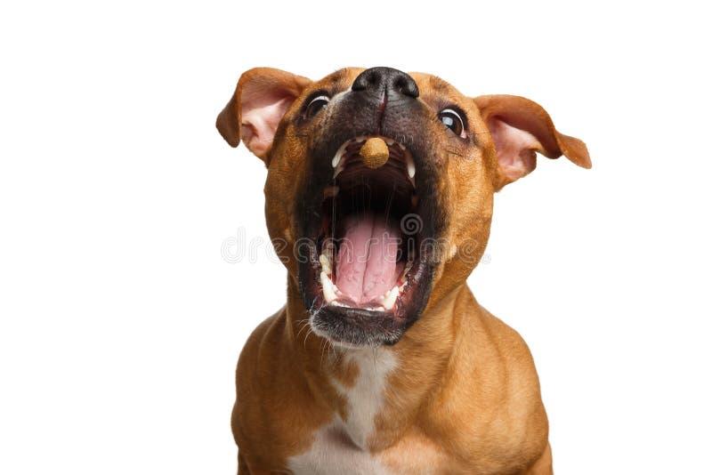 Mischlings-rote Hundefangfestlichkeiten lizenzfreie stockfotografie