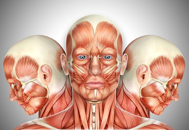Mischt Männliches Gesicht 3d Anatomie Mit Seitenansichten Mit Stock ...