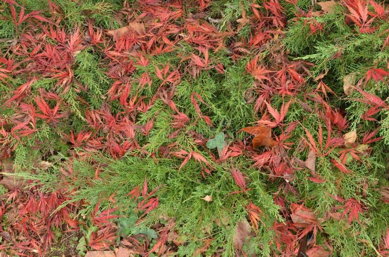 Mischung von grünen Wacholderbuschniederlassungen und von roten japanischen Ahornblättern lizenzfreie stockfotos
