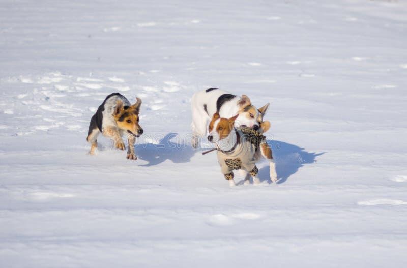 Mischzuchthunde, die basenji Hund in Angriff nehmen stockbilder