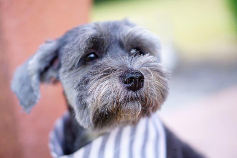 Mischzuchthundtragender Bandanafokus an der Hundenase stockfotografie