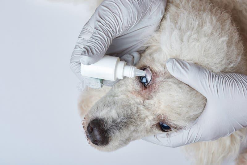 Mise des gouttes pour les yeux dans le chien photos libres de droits