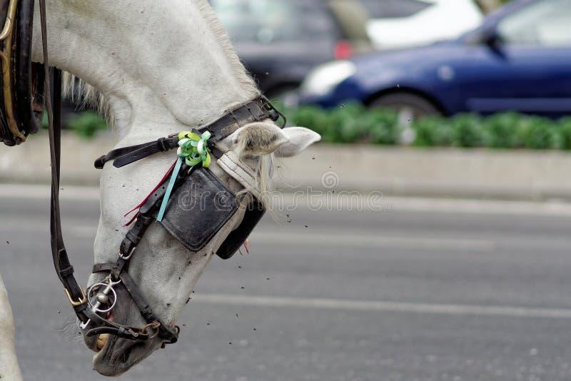 Miserabel Spaans die paard door vliegen wordt aangevallen royalty-vrije stock fotografie