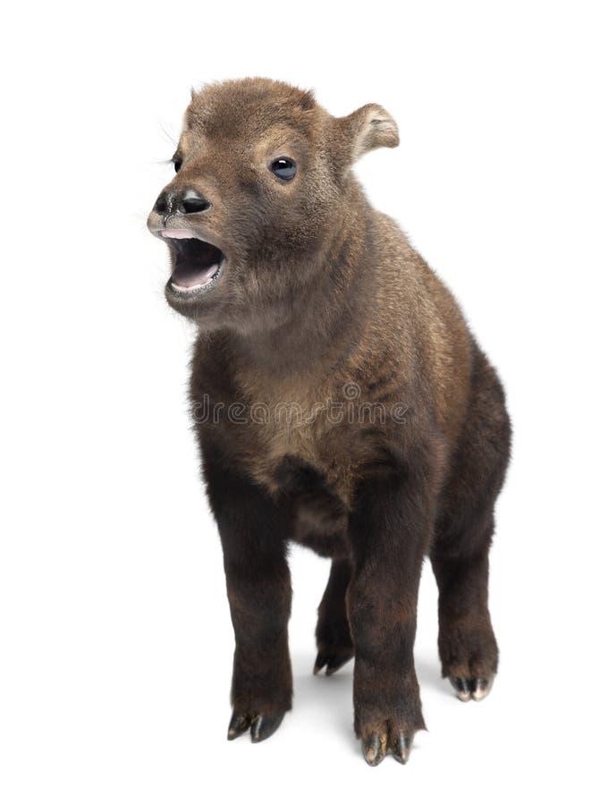 Mishmi扭角羚,羚牛属taxicolor taxicol 免版税库存照片