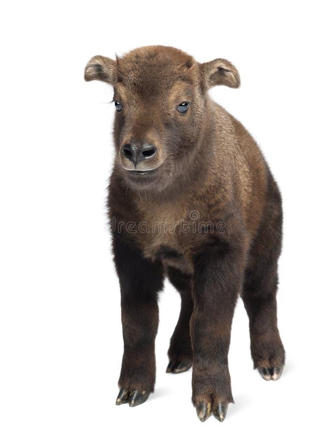 Mishmi扭角羚,羚牛属taxicolor taxicol 库存图片
