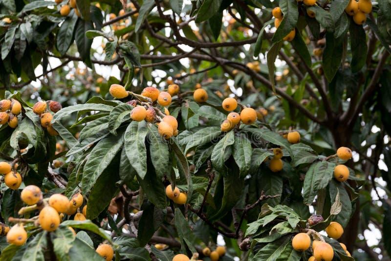 Mispel loquat, Eriobotryajaponicatr?d med frukter arkivfoto