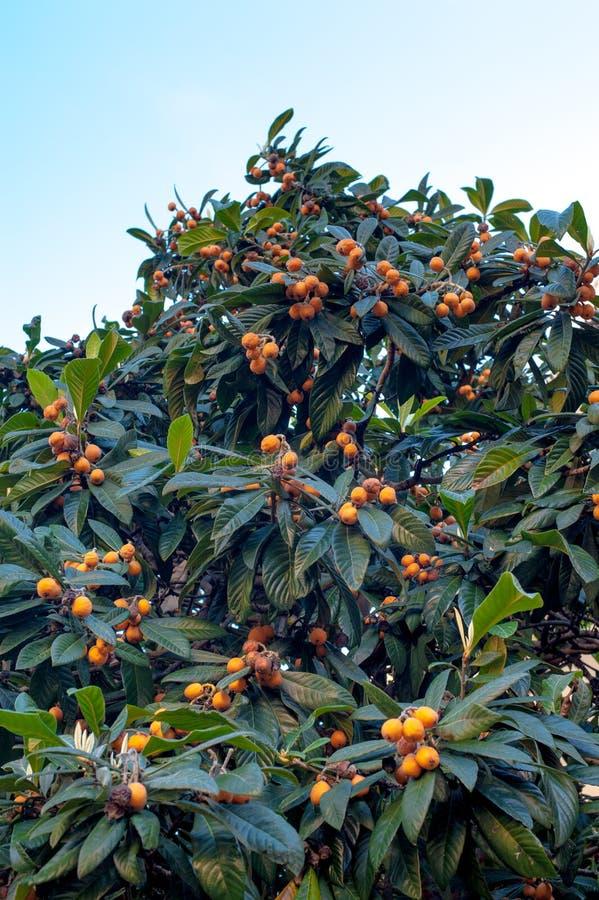 Mispelbaumast mit vielen reifen Früchten lizenzfreie stockfotografie