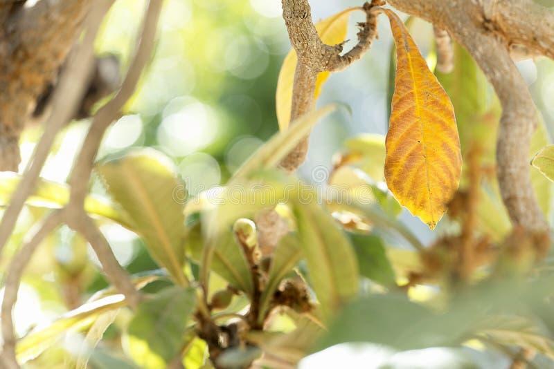 Mispelsidor övervintrar in frukterna är födda royaltyfri fotografi