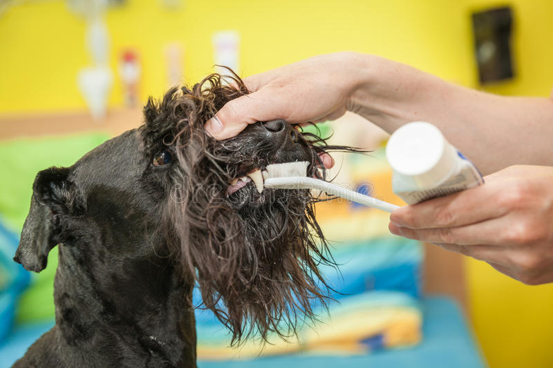 Miss cleans teeth dog observes hygiene royalty free stock photography