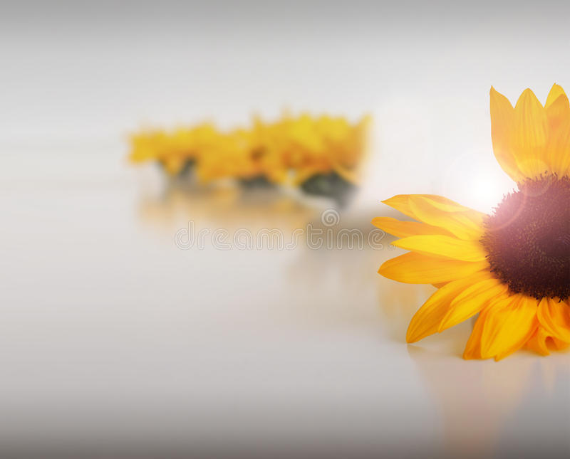 Missing petals. Abstract composition of a sunflower missing petals with blurred flowers in the background against clean neutral background stock photo