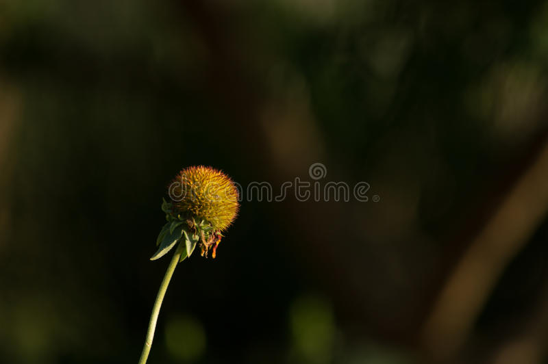 Missing Petals. A flower missing all of it's petals royalty free stock images