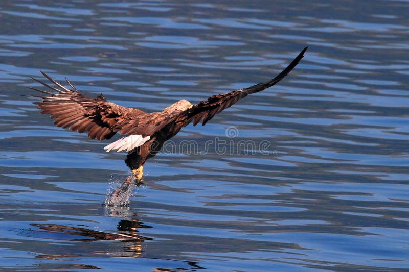 Missing the prey in Lofoten islands. Sea eagle missing the prey from his claws, Lofoten islands , Norway, region of Norland , Arctic Circle royalty free stock image