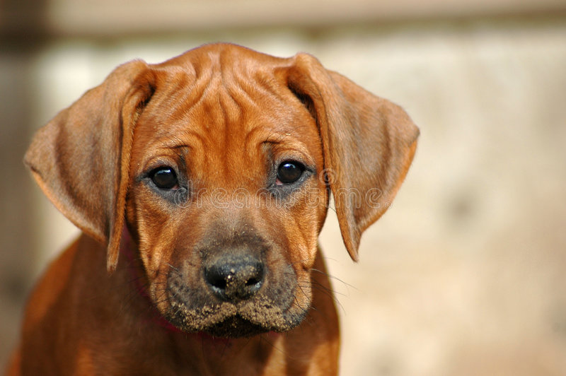 Download Missing you! stock image. Image of head, look, doggies - 2690841
