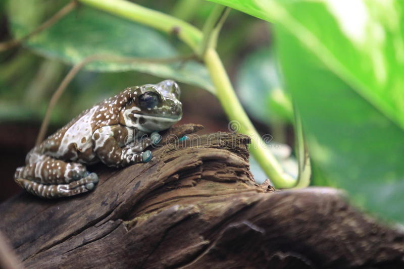 Mission golden-eyed tree frog stock image