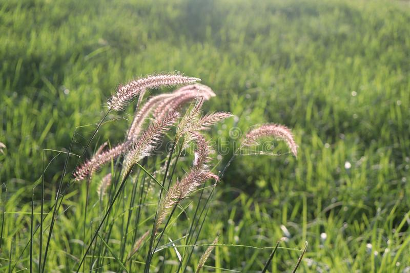 Mission Grass or desho grass flower, grass and sunshine in the morning stock image