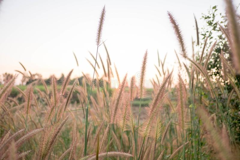 Mission Grass,Feather Pennisetum,Thin Napier Grass or Poaceae Grass Flowers on sunset light and orange clouds background royalty free stock photography