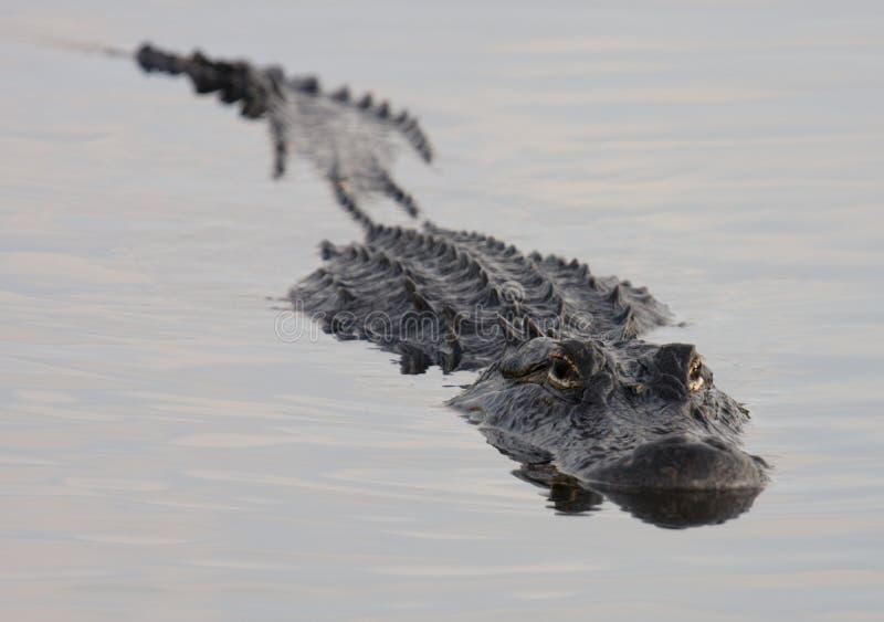Mississipi-Alligator, der in den Sumpfgebieten schwimmt stockfotos
