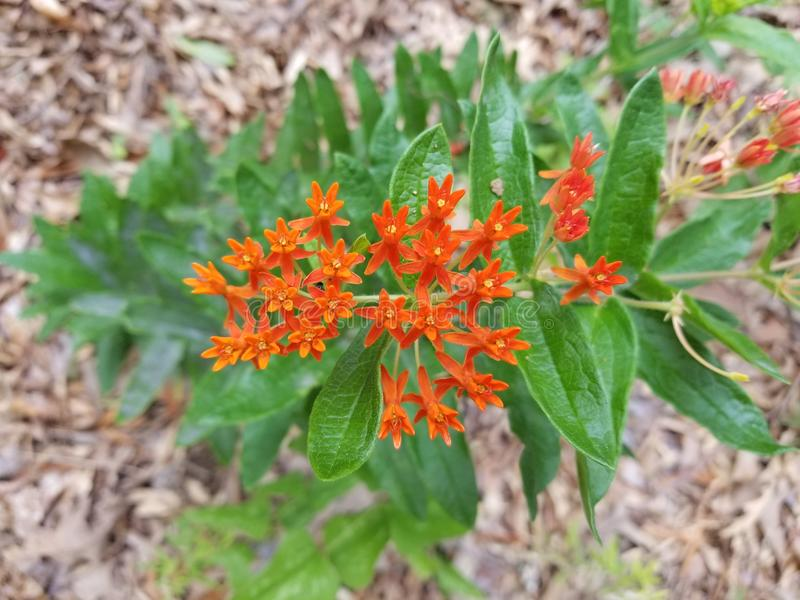 Mississippi apelsin royaltyfria foton