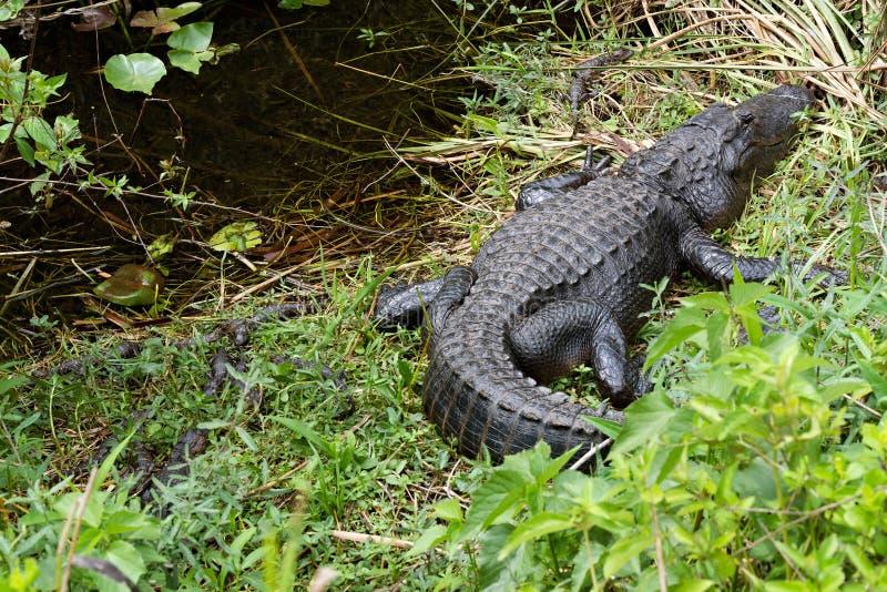 Mississippiensis d'alligator d'alligator américain photo stock