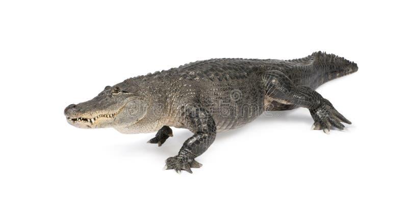 Mississippiensis del coccodrillo - (30 anni) fotografia stock libera da diritti