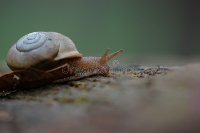 Missouri Ogrodowy ślimaczek obrazy stock