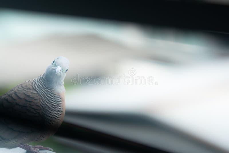 Misst?nksam f?gel Gullig fågel med bruna och gråa fjädrar Fågeluppehälle i stad Fågel på kanten av den byggande balkongen och lut royaltyfri bild
