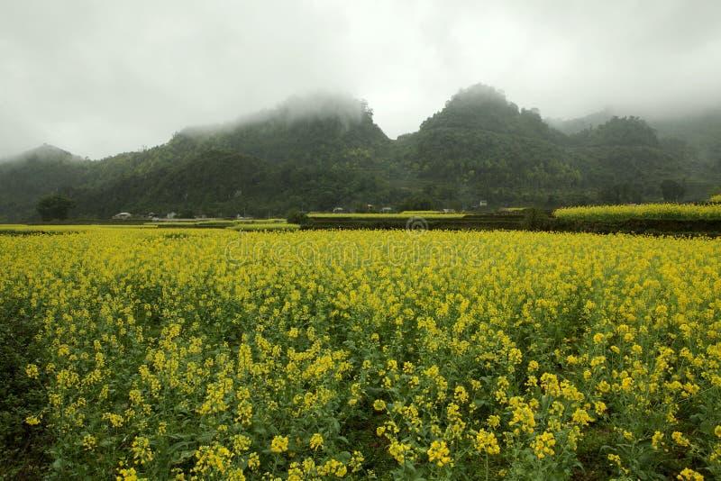 Mist en Canola-gebiedslandschap stock fotografie
