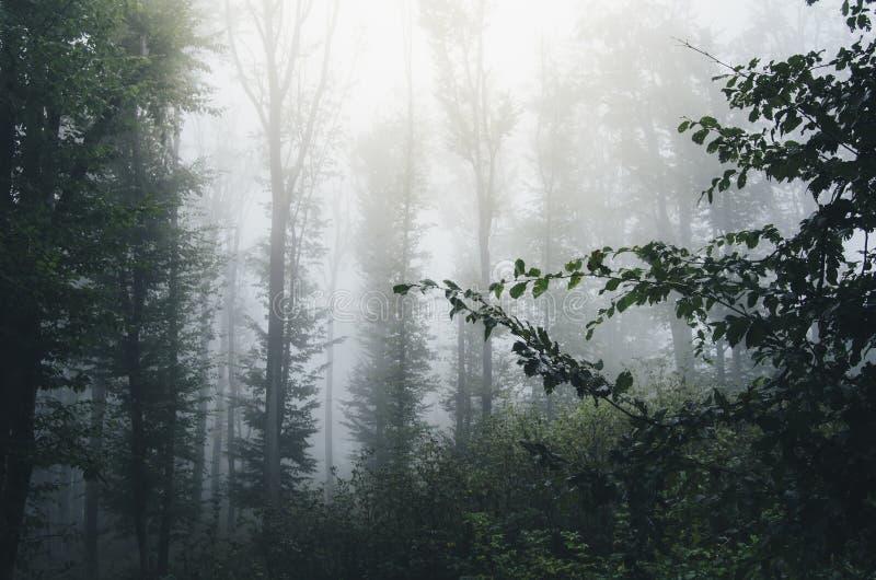 Mist i mystiska trän med lövverk fotografering för bildbyråer