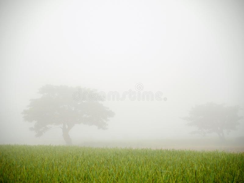 The mist over the green rice field and two big trees royalty free stock image