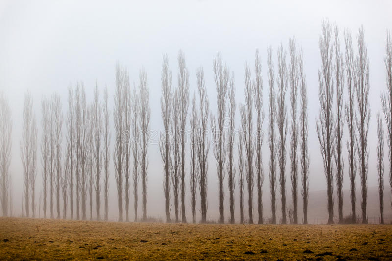 Mist Vertical Trees Line. Vertical thin tall trees lined across the picture frame being covered in mist on a winters morning in the mountains stock image