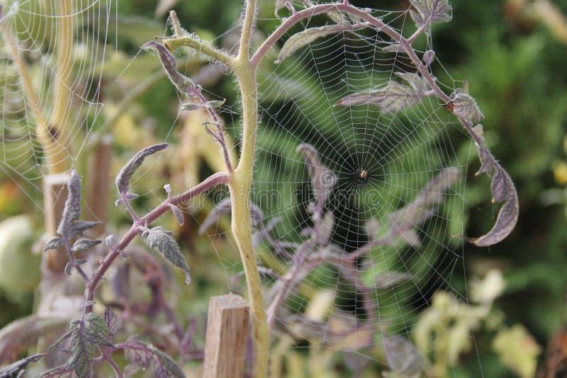 Misted在西红柿上的蜘蛛网 库存图片