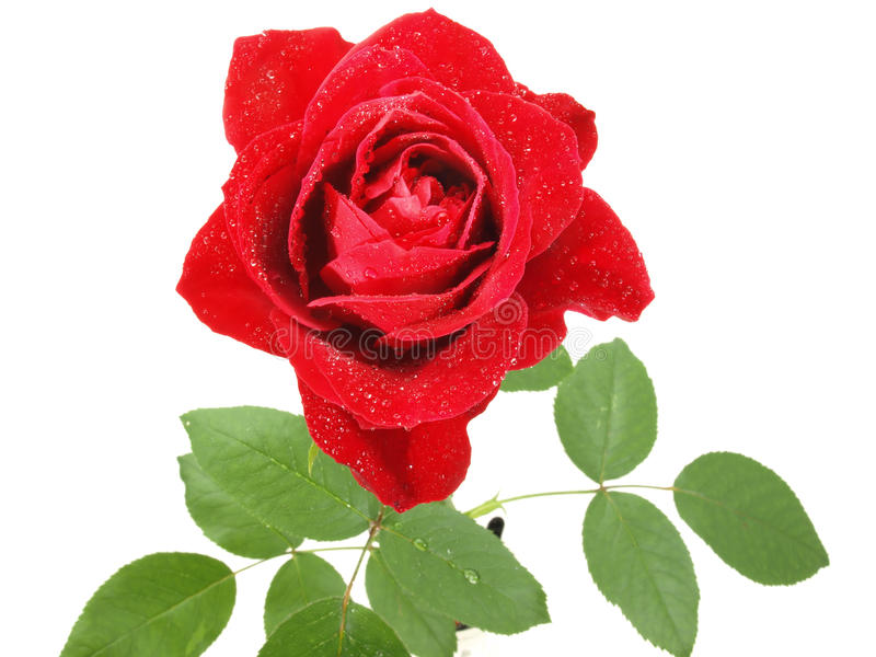 Misted Rosa vermelha vibrante imagens de stock royalty free