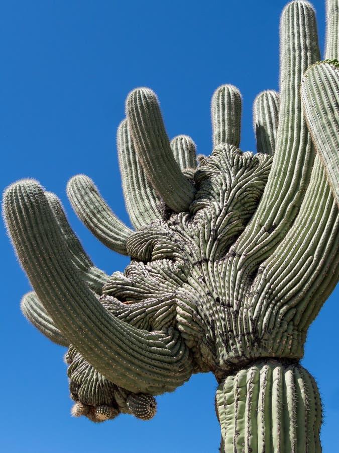 Misterio en la naturaleza, el Saguaro con cresta imagen de archivo libre de regalías