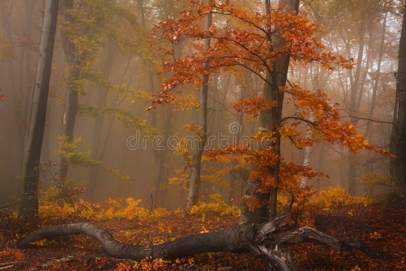 Mistig bos tijdens daling en een rode boom stock afbeeldingen