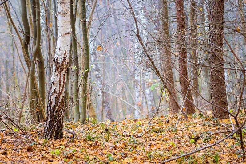 Mistige dag in de de herfst bos Droge bladeren ter plaatse onder de bomen in het bos in fall_ royalty-vrije stock foto's