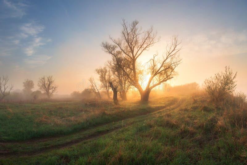 Mistige weide met trees00 in zonnige ochtend bij zonsopgang Het landschap van de de lenteaard met bomen op groene weide royalty-vrije stock afbeeldingen