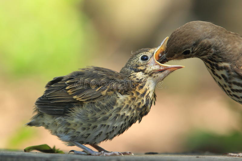 Mistle thrush. The mistle thrush chick being fed by the adult one stock photo