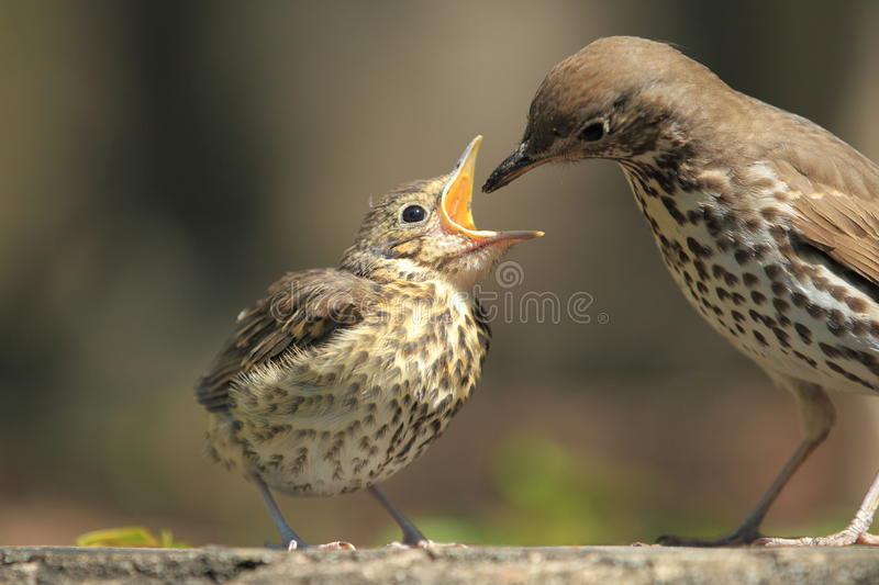 Mistle thrush. Feeding of young mistle thrush stock photography