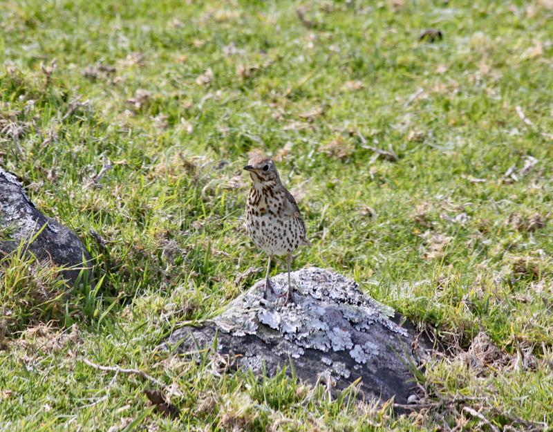 A mistle thrush is barely visible as it stands on a rock in a field.  stock photography