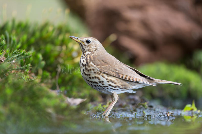 Mistle Thrush in nature. Mistle Thrush at the ground in nature stock photography
