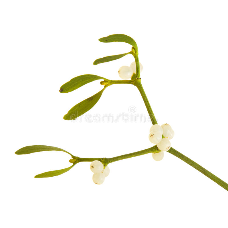 Download Mistletoe stock image. Image of viscum, hang, isolated - 17430555